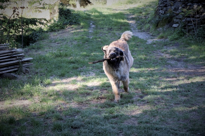Ico, berger allemand et Misca, leonberg. - Page 7 Img_8414