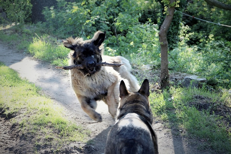 Ico, berger allemand et Misca, leonberg. - Page 7 Img_8415