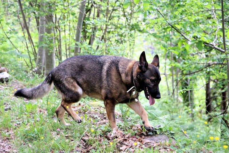 Ico, berger allemand et Misca, leonberg. - Page 7 Img_8511