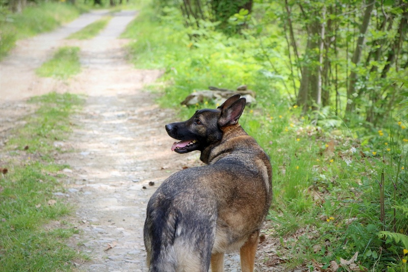 Ico, berger allemand et Misca, leonberg. - Page 7 Img_8611
