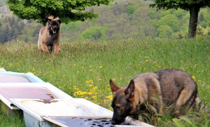 Ico, berger allemand et Misca, leonberg. - Page 7 Img_8712
