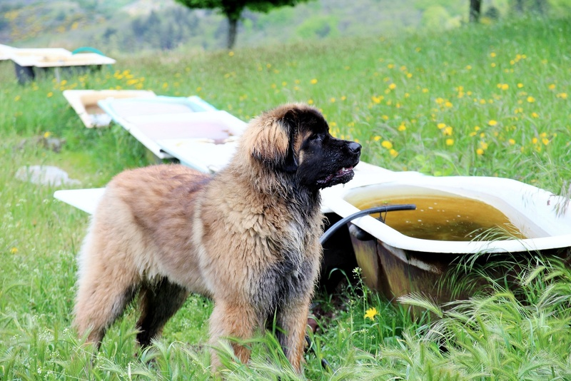 Ico, berger allemand et Misca, leonberg. - Page 7 Img_8810