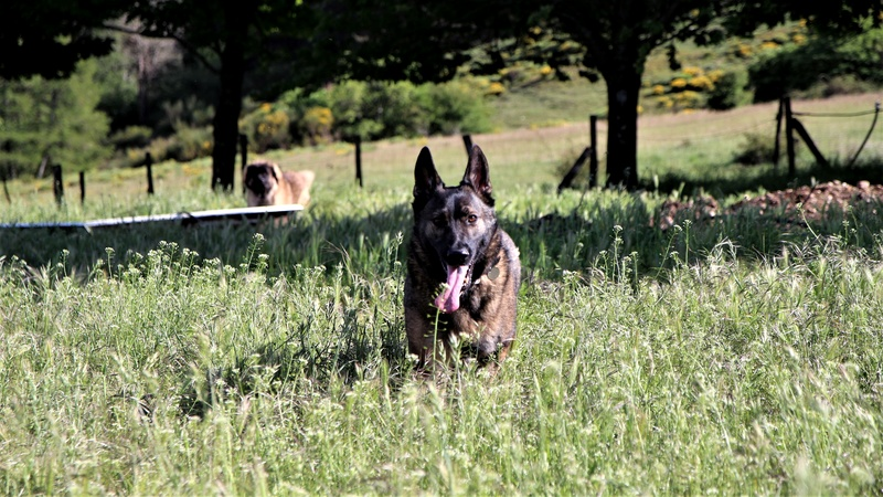 Ico, berger allemand et Misca, leonberg. - Page 8 Img_9013