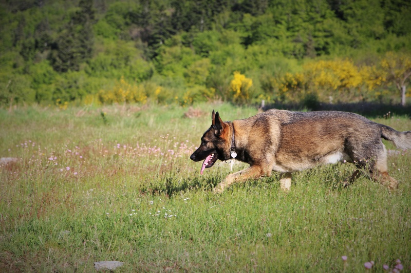 Ico, berger allemand et Misca, leonberg. - Page 8 Img_9114