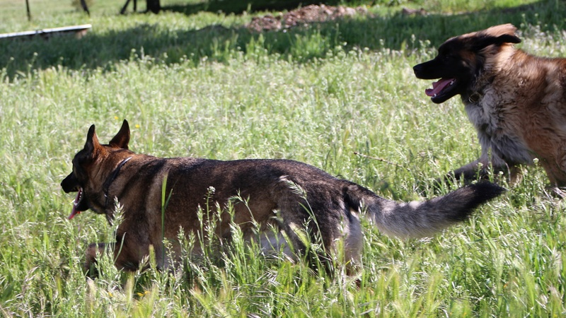 Ico, berger allemand et Misca, leonberg. - Page 8 Img_9115
