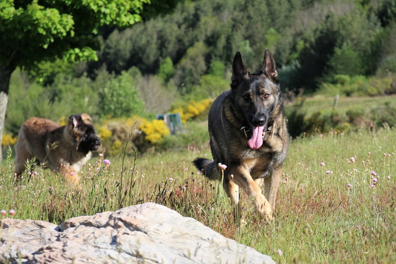 Ico, berger allemand et Misca, leonberg. - Page 8 Img_9116