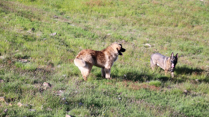 Ico, berger allemand et Misca, leonberg. - Page 8 Img_9210