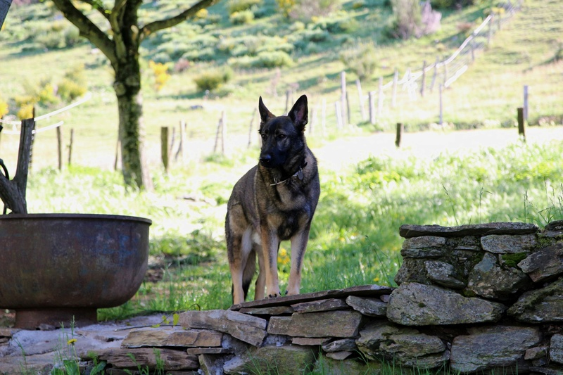 Ico, berger allemand et Misca, leonberg. - Page 8 Img_9414