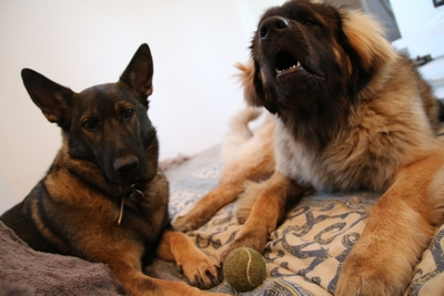 Ico, berger allemand et Misca, leonberg. - Page 8 Img_9712