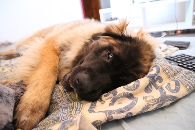 Ico, berger allemand et Misca, leonberg. - Page 8 Img_9810