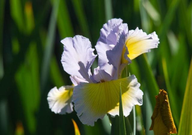 Spurias botaniques Maryli10