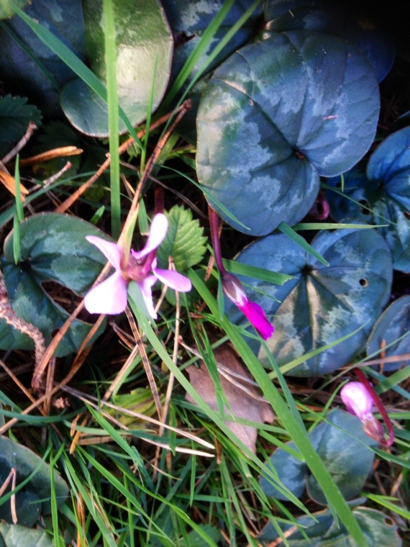 Cyclamen coum Photo10