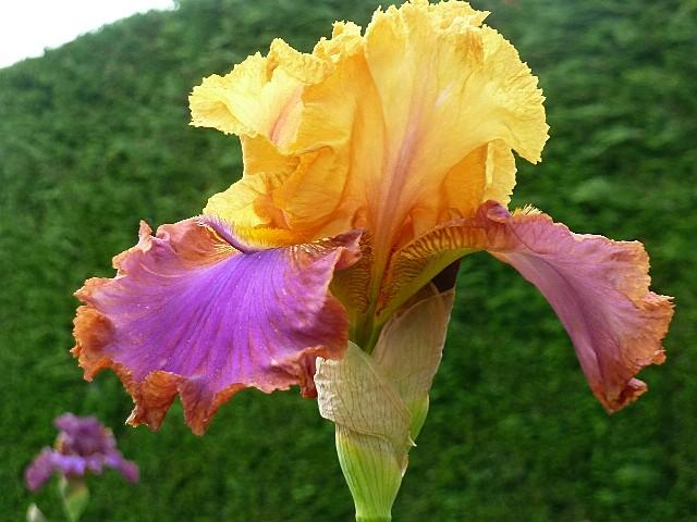Iris a eperons  P1130111
