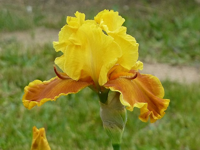 Iris a eperons  P1130210