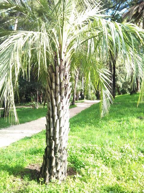 palmier - palmier, après le desespoir, un petit espoir.... 13646510