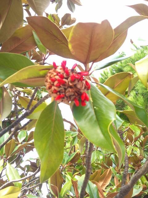 Question : Magnolia grandiflora 13821810