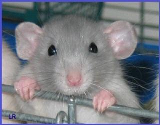Le rat domestique 1435810