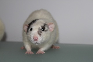 Le rat domestique 1751010