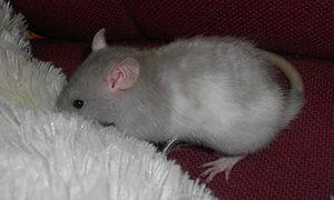 Le rat domestique 300px-10