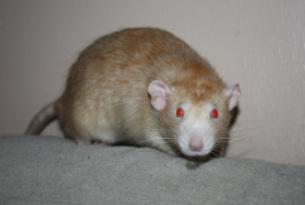 Le rat domestique 49160810