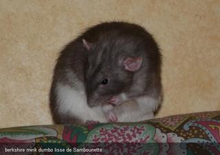 Le rat domestique 50253510