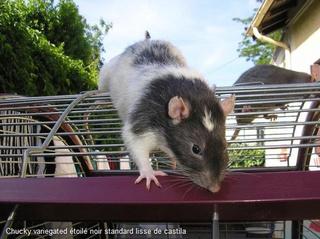 Le rat domestique 53260010