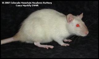 Le rat domestique 61330910