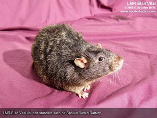 Le rat domestique 72134210