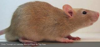 Le rat domestique 86378610