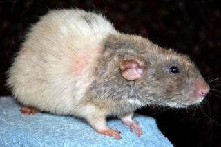 Le rat domestique A_wild10