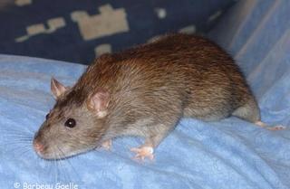 Le rat domestique Agouti10