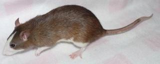 Le rat domestique Agouti11