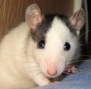 Le rat domestique Bebes610