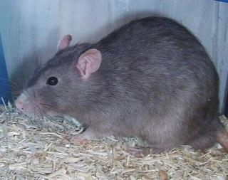 Le rat domestique Bleuru10