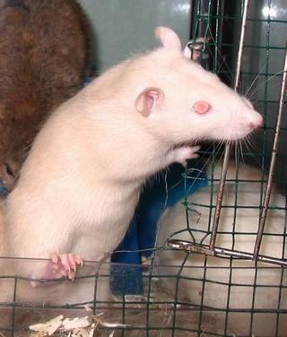 Le rat domestique Champa10