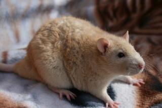 Le rat domestique Cinnam10