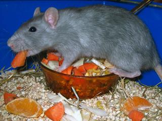 Le rat domestique Couleu10