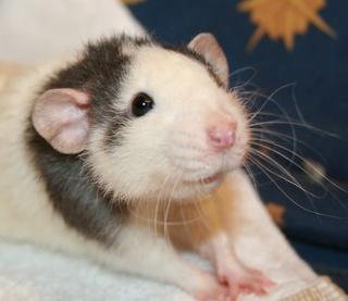 Le rat domestique Dart10