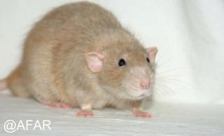 Le rat domestique Doveag10