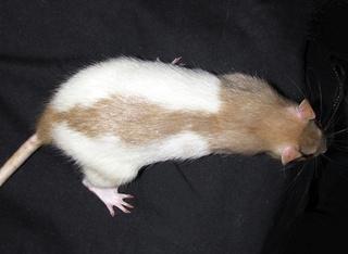 Le rat domestique Hooded10