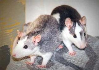 Le rat domestique Huskyb10