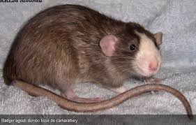 Le rat domestique Index11