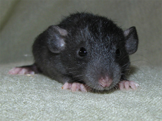 Le rat domestique Knuckl10