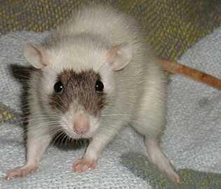 Le rat domestique Masque10