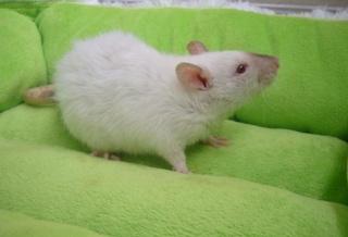 Le rat domestique P1260110