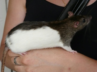 Le rat domestique Rat-ho10