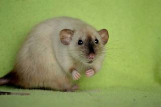 Le rat domestique Rat-si10