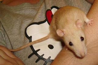 Le rat domestique Topaze10