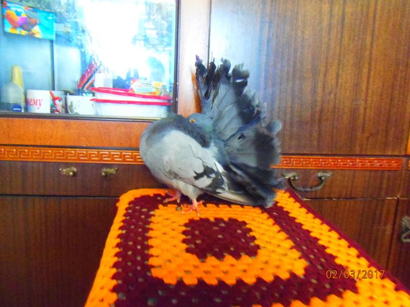 Павлины голуби P3020210