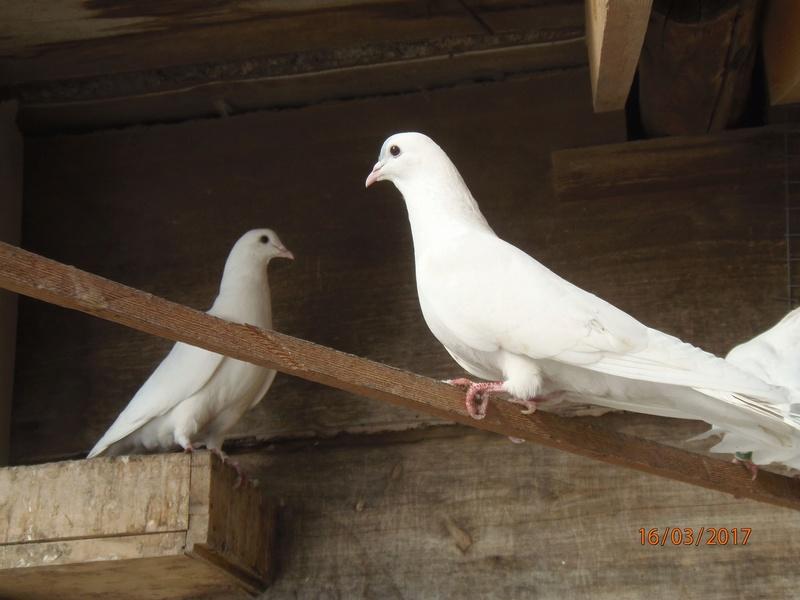 Бакинские голуби - Страница 3 P3160411